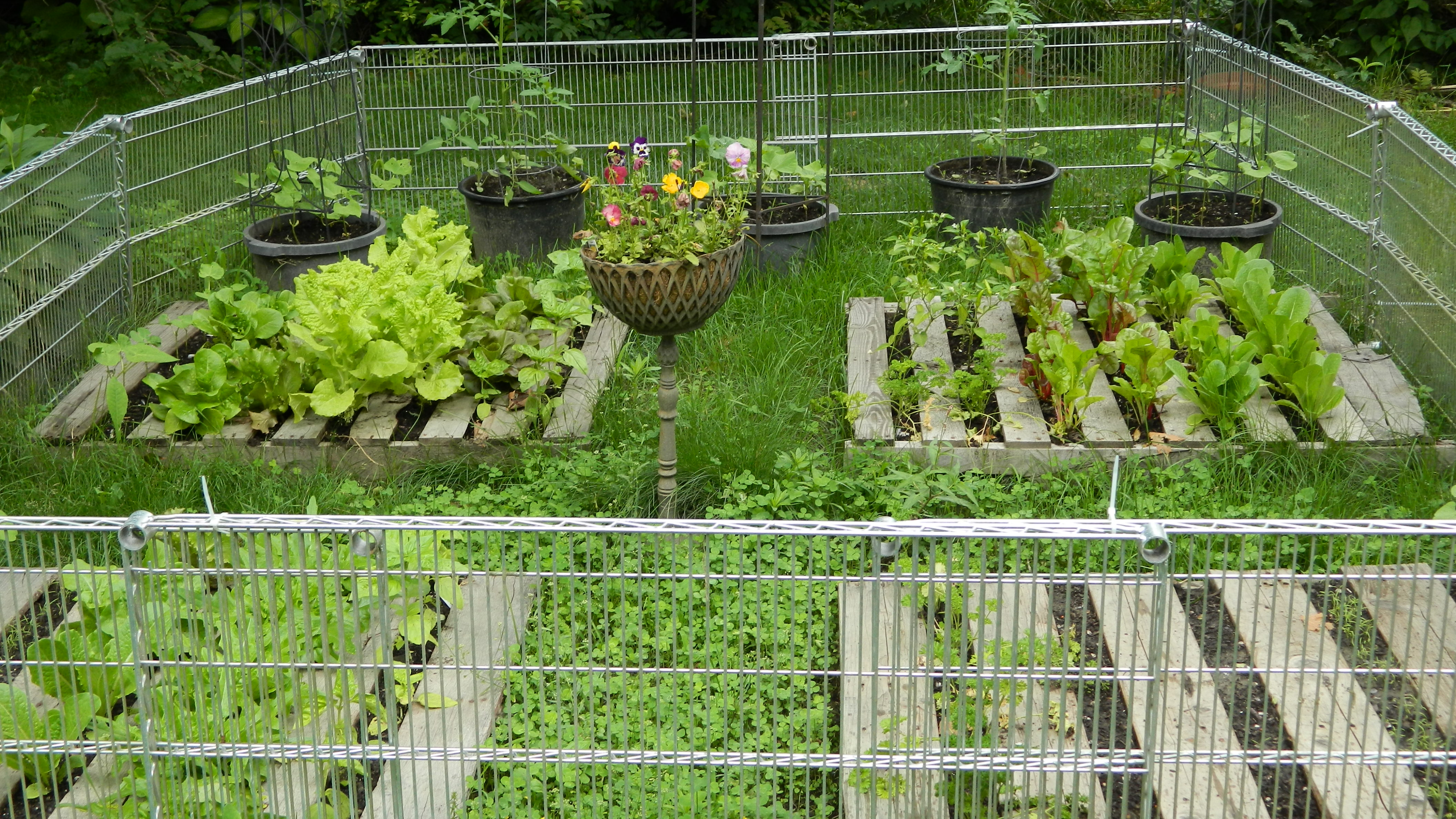 Exceptionnel Lettuces And Chard Going Great Guns. Beans And Dill Up. Tomatoes Growing  Well, Though Hard To See As Foliage Greenery Melds.