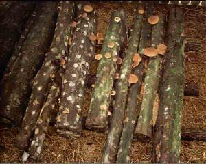 Mushroom-Logs