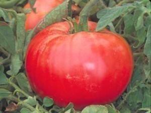 Tomato Russian Rose