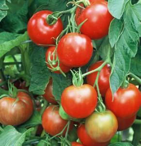Tomato Stupice