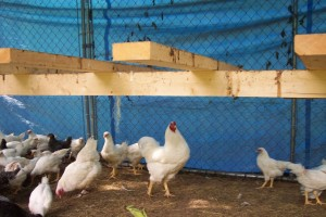 Grow Pen Chickens