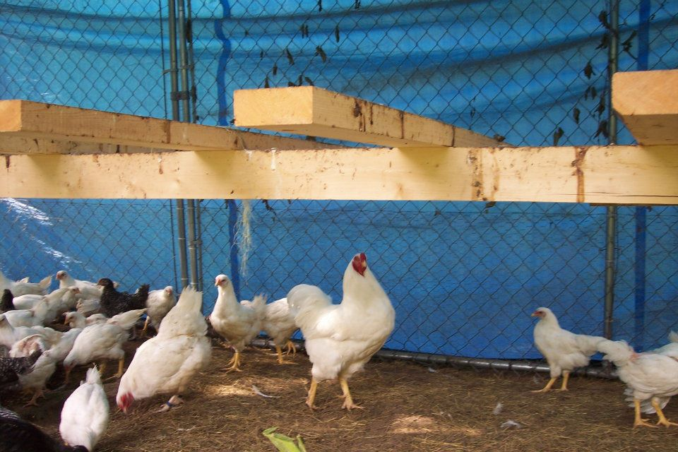Chantecler Chickens | Fayrehale Farm: Gifts, Antiques, Christmas ...